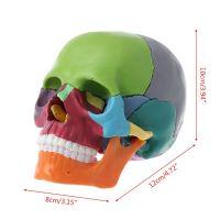 Анатомическая модель черепа, разборная, 15 частей