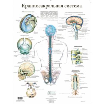 """Плакат """"Анатомия Краниосакральной Системы"""""""