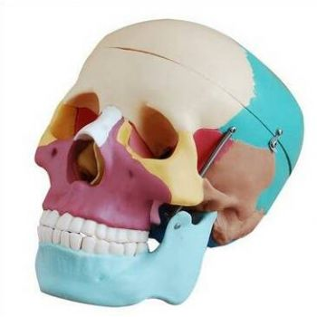Анатомическая модель черепа, цветная, разборная, 3 части