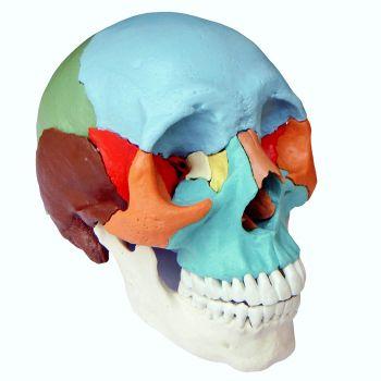 Анатомическая модель черепа, разборная, 22 части