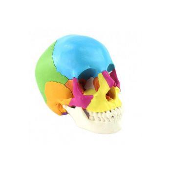 Анатомическая модель черепа, разборная, 22 части, 1:1