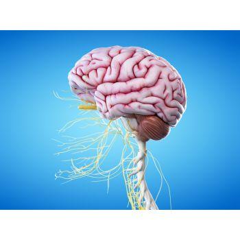"""Картина на холсте """"Мозг и черепные нервы"""""""